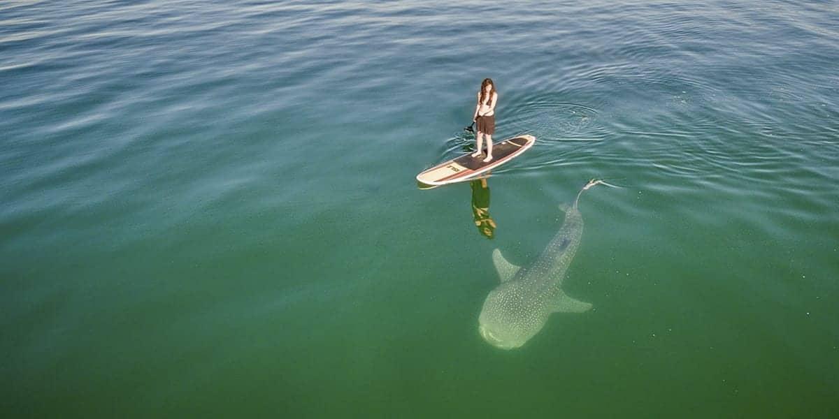 Stand Up Paddle et Requins : les meilleures vidéos 10